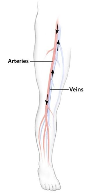 Diagram of veins and arteries in a leg